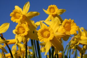 Yellow daffodils with a blue sky background